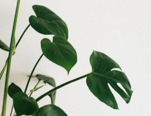 Как се отглежда вечнозеленото растение Monstera?