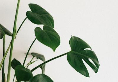 Как се отглежда растението Monstera?